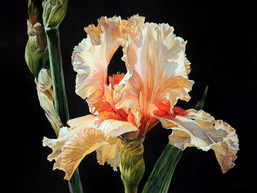 Pink Iris - 72 x 55 cm